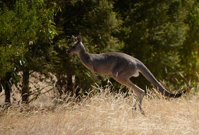 kangaroo jumps 2