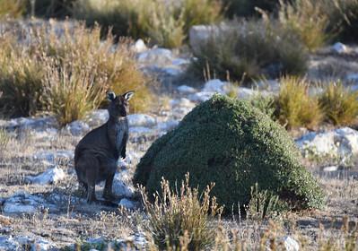 KI Kangaroo 2