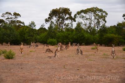 mob of kangaroos 1 (2)