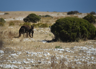 KI Kangaroo 5