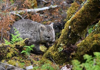 wombat 6