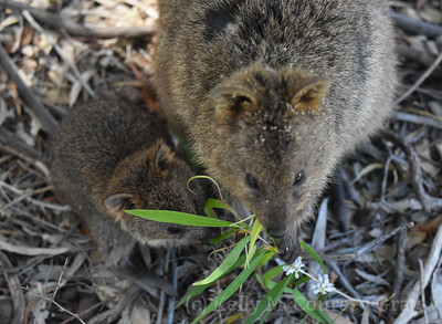 Mom and baby quokka 4