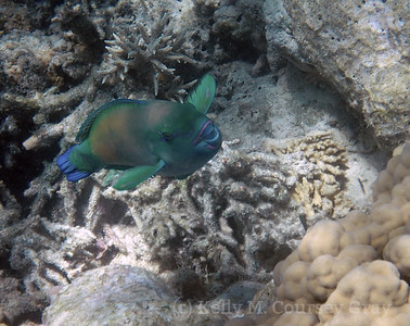 amidee greenhead parrotfish 1