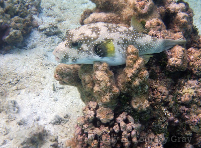 white spotted puffer 1