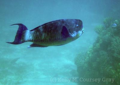 amidee roundhead parrotfish 1