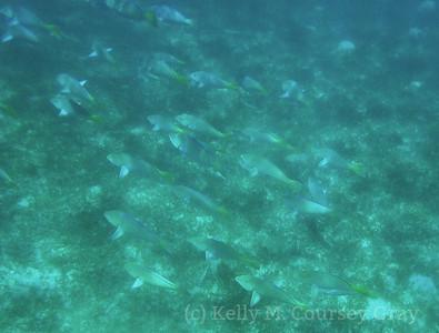 amidee school of parrotfish 2