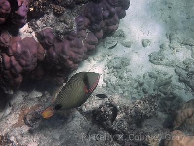 amidee orangelined triggerfish 2