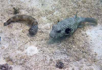 white spotted puffer 2
