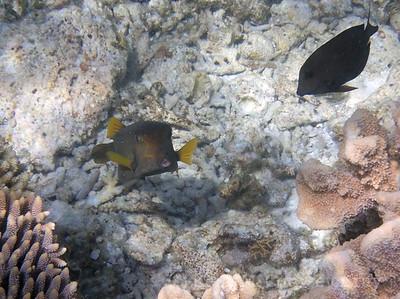Yellow boxfish 1