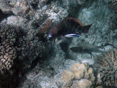 amidee indian parrotfish 1