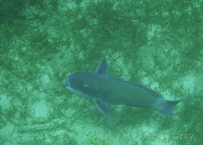 amidee roundhead parrotfish 2