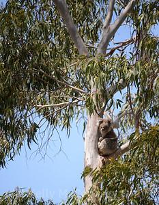 Koala in the tree 3