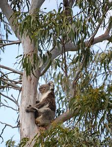 Koala in the tree 4
