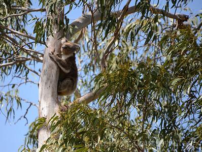 koala climbs