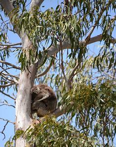 Koala in a ball