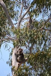 Koala in the tree 1