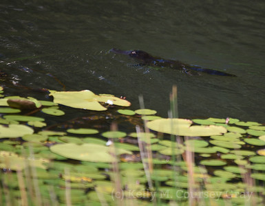 platypus with lilly pads 1