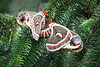 FB_Cecropia Moth_0649_PAW