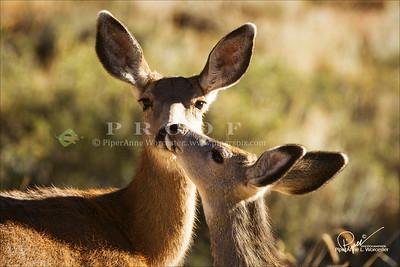 WS_Deer_4284
