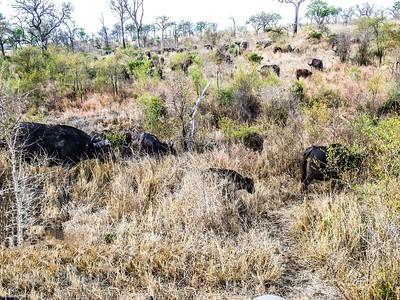 African Buffalo as far as the eye can see.