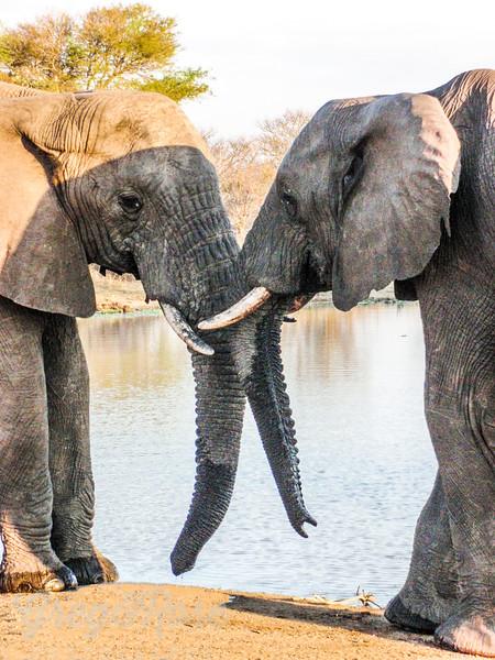 Bull Elephants are friends