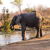Bull Elephant Drinking