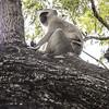 Soko White Hair Monkey in a tree