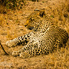 Leopard resting but alert
