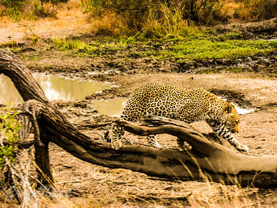 Leopard intensely hunting