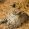 Leopard alert for prey