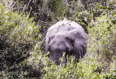 Elephant feeding (5)