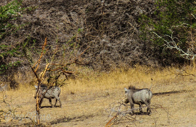 Warthogs on the move