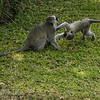 Soko White Hair Longtail Monkey and her child at play mother and child at play