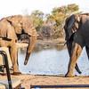 Bull Elephants face off.