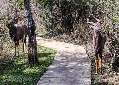 Male Nyala on our path