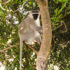 Soko White Hair Longtail Monkey in a Tree