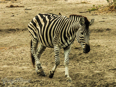 Lone Zebra a definite Z