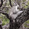 Soko White Hair Longtail Monkey preening itself
