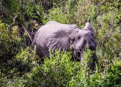 Elephant feeding (6