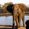 Boss Bull Elephant