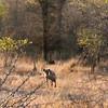 Hyena on the prowl