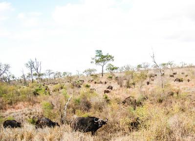 African Buffalo aplenty