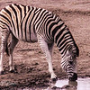 Zebra at the pond