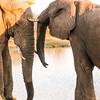 Bull Elephants getting closer