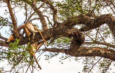 Impala carcass in the tree (2).