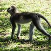 Soko Long Tailed Monkey walking
