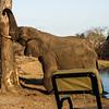 Bull Elephant and a tree.