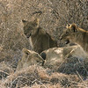 Pride of Female lions and cubs