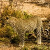 Leopard slowly stalks