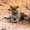 Leopard waiting